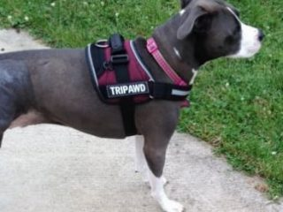 Tripod dog harness