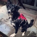 front leg, tripawd, harness, Webmaster
