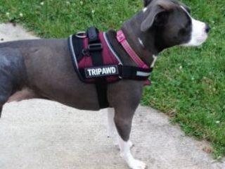 Tripod dog harness