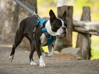 small Tripawd dog harness