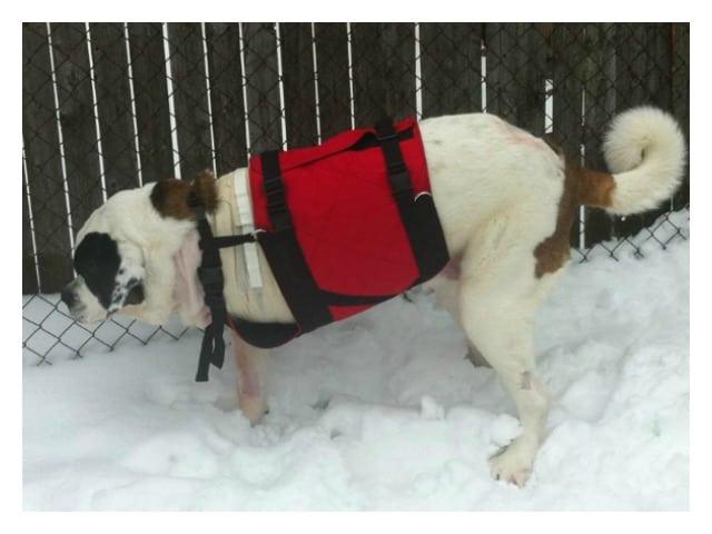 custom Tripawd harness