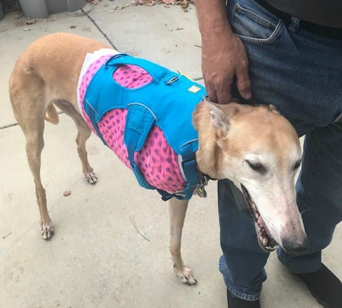 Using a Dog Harness with Compression Bandages