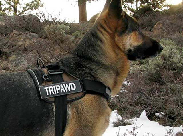 Tripawd Convert Harness with Custom Patches on GSD