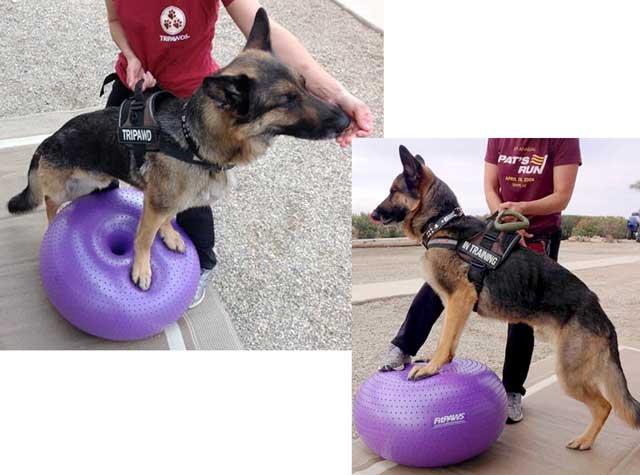 German Shepherd Tripawd exercise