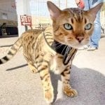 Kitty Holster Best 3 Legged Cat Harness