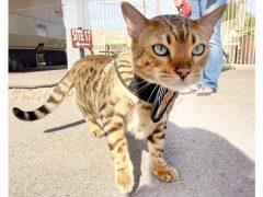 Kitty Holster Best 3 Legged Cat Harness