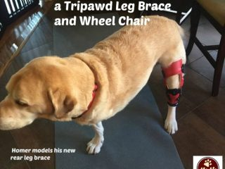 Tripawd Leg Brace and Wheel Chair