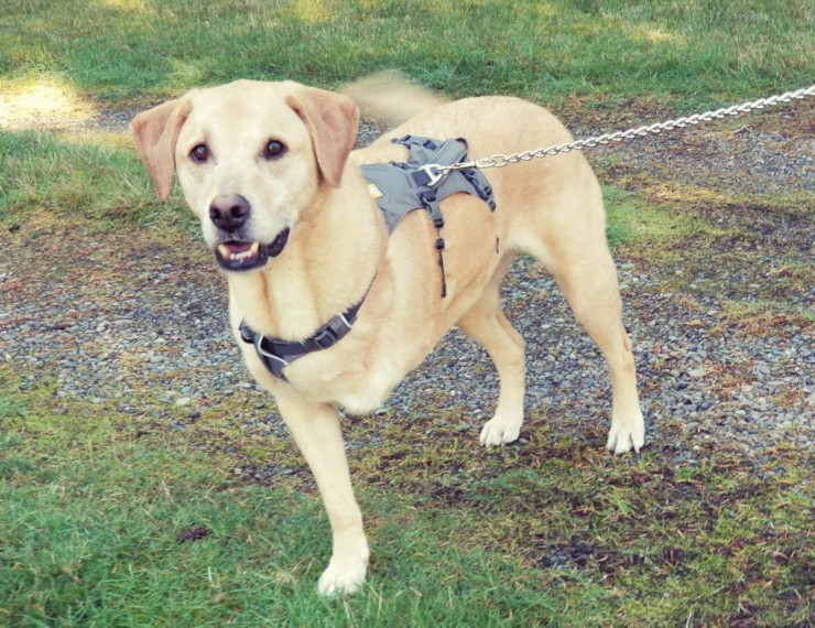 front leg tripawd dog harness review