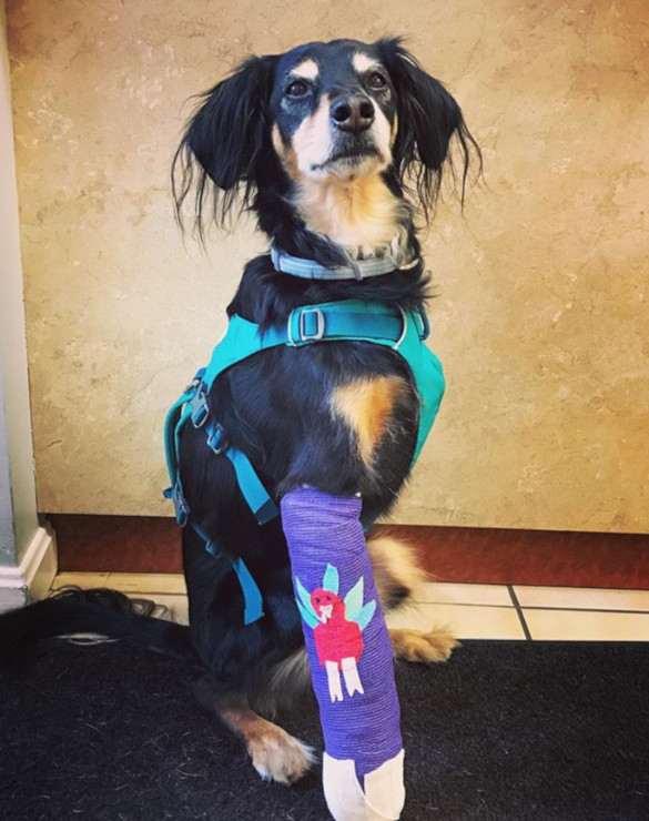 amputee dog leg injury recovery
