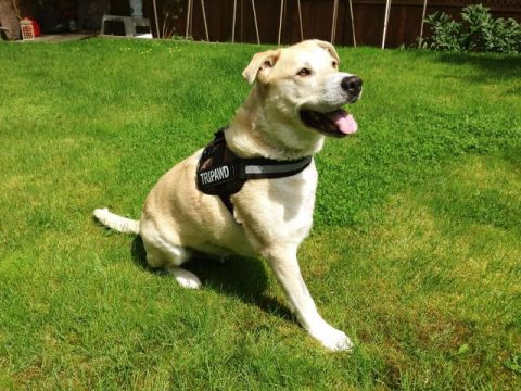 Tripawd harness sale