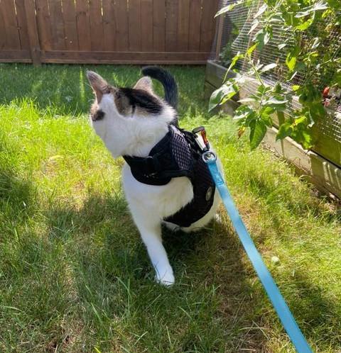 Tripawd Cat Harness Demo