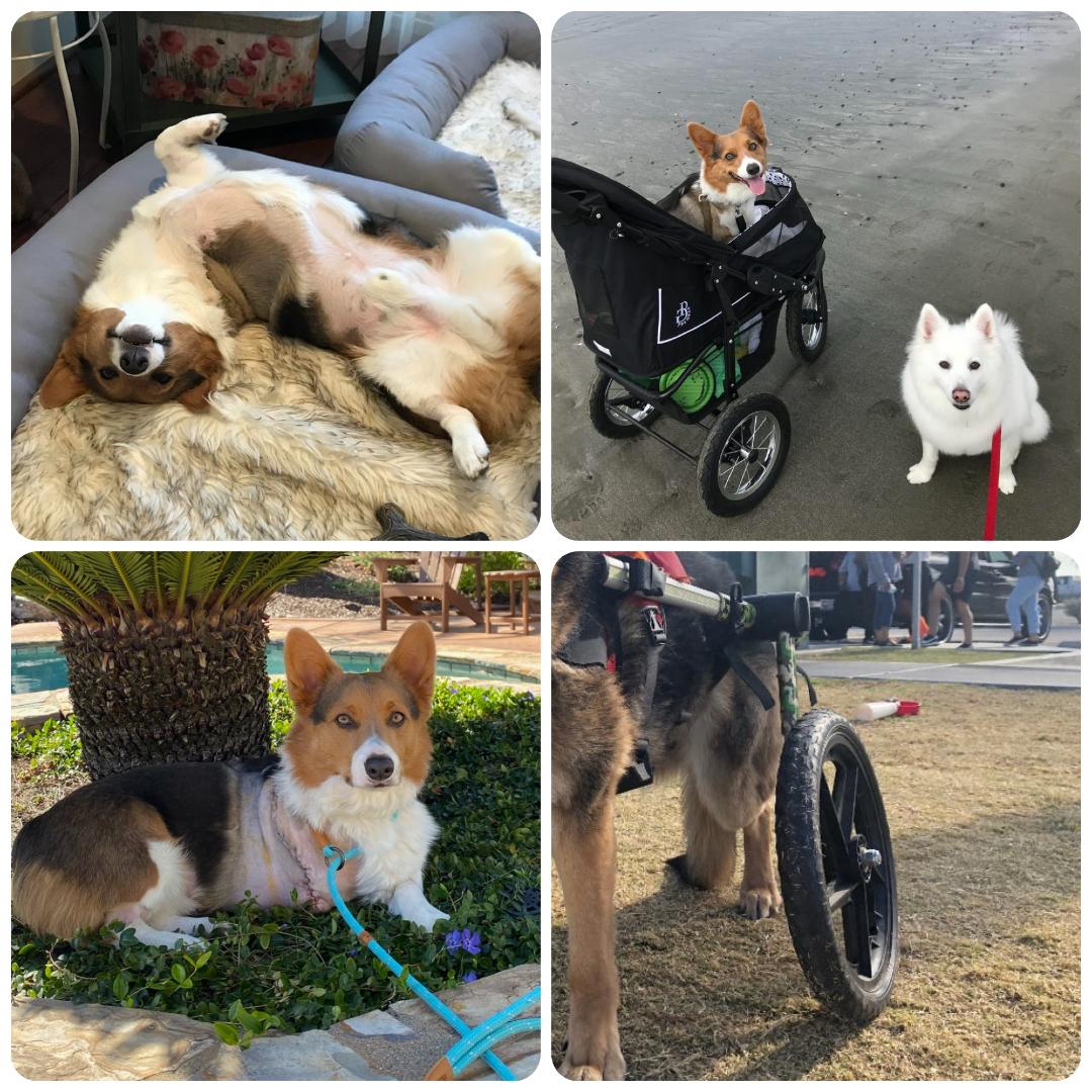 Tripawds need wheelchair